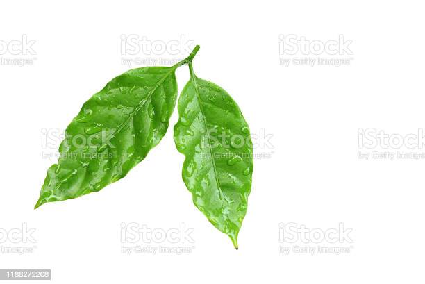Photo of Green coffee leaves with water drops.