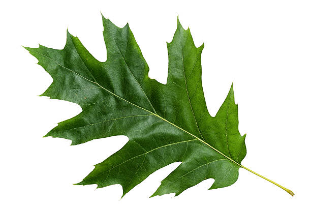 Green Color Oak Leaf with Texture isolated on White Background. stock photo