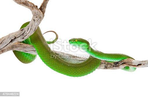 istock Green Color White-Lipped Pitviper Snake 475446224