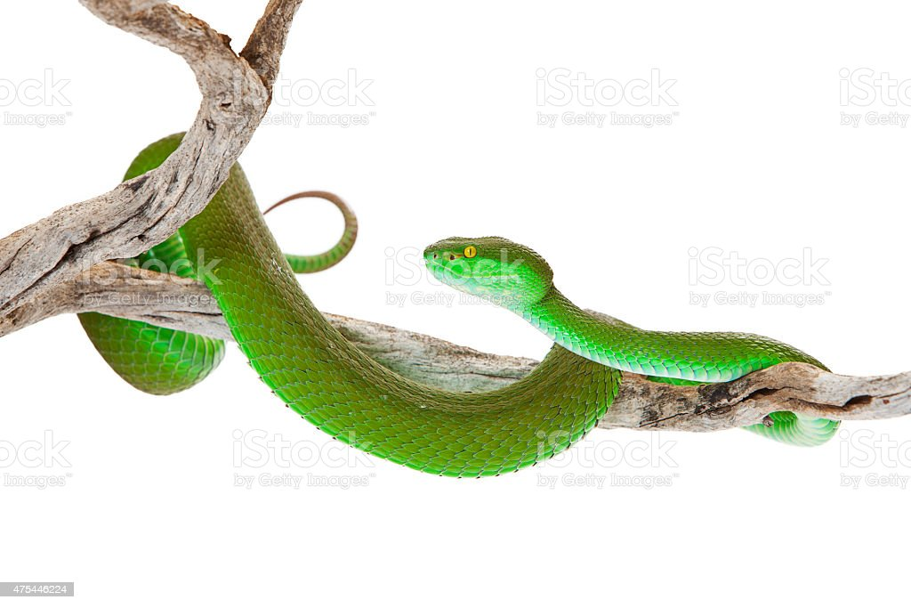 Green Color White-Lipped Pitviper Snake stock photo