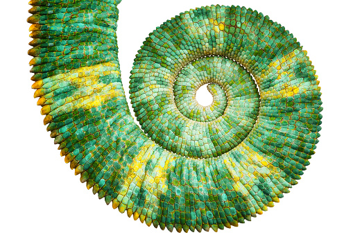 Close view of a beautiful  green colorful  chamaeleo calyptratus tail revealing the mathematic fibonacci spiral curve on black background. Species also called veiled, cone-head or yemen chameleon.