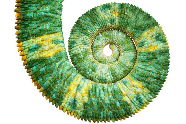 綠色五顏六色的金銀花尾巴揭示了數學的斐波那契螺旋曲線 - 重複螺旋型 個照片及圖片檔