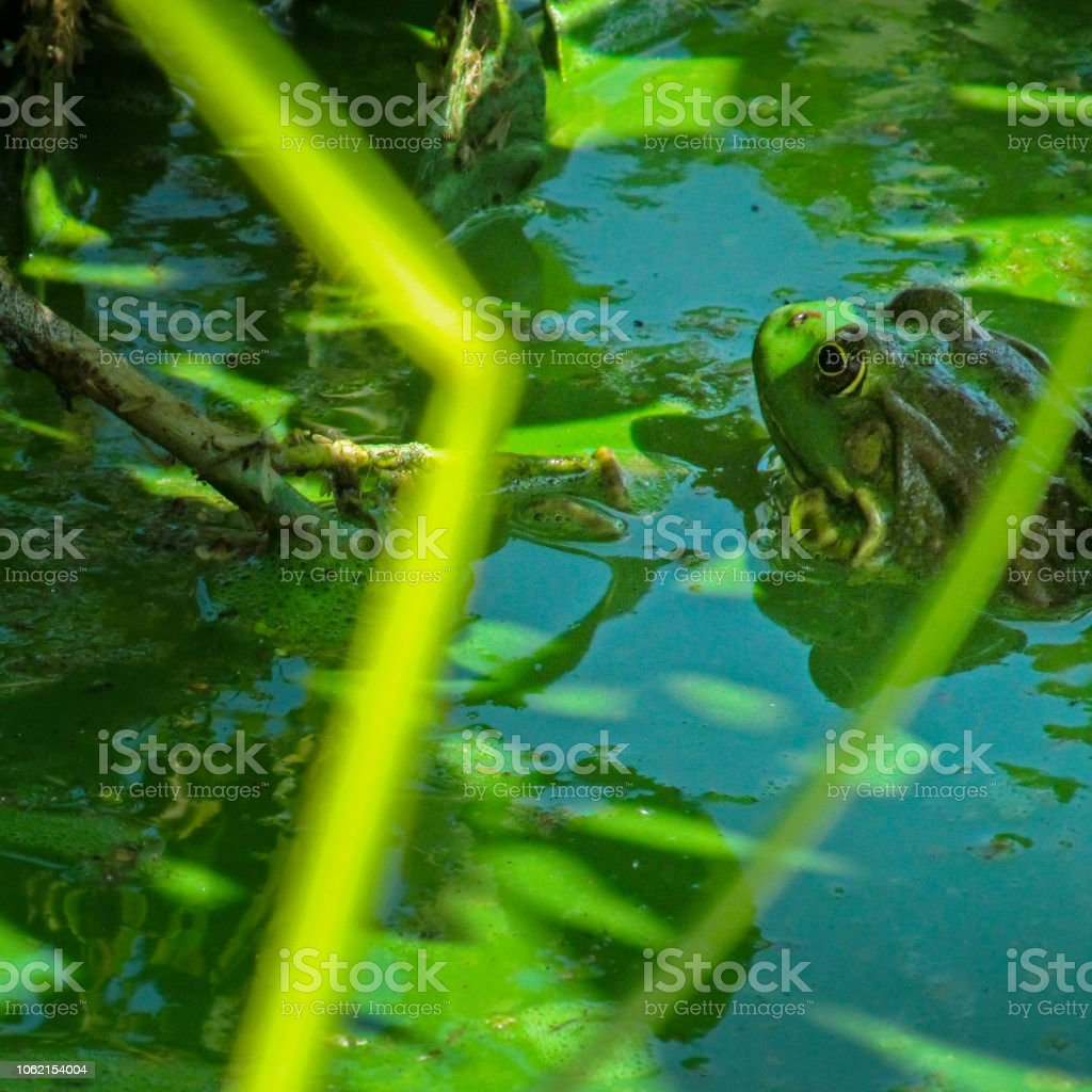 Green common frog in the water polluted by blooming blue-green algae (Cyanobacteria). stock photo