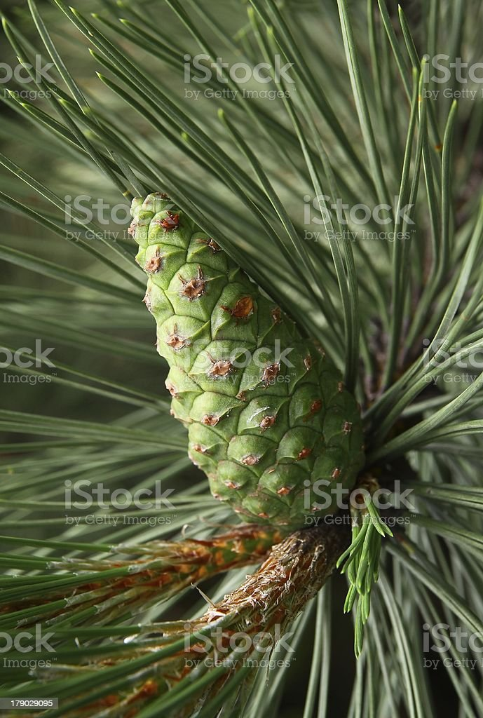 green cone of pine tree at spring stock photo