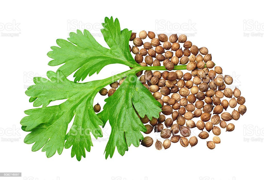 Green coriander and grains stock photo