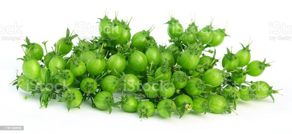 Green Coriander royalty-free stock photo