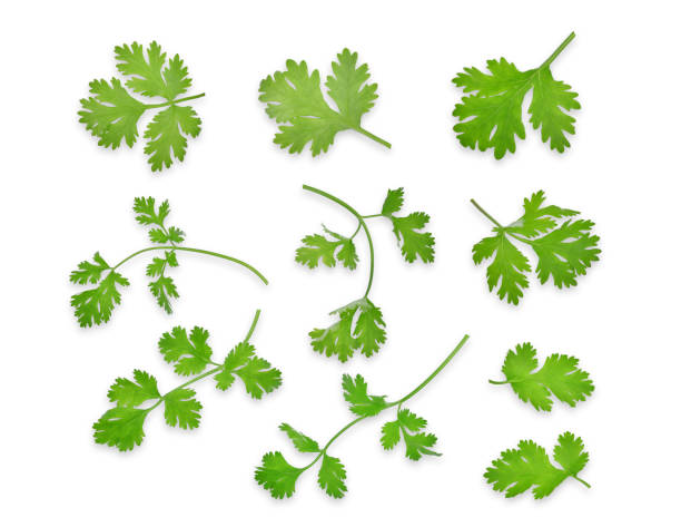 green coriandrum sativum leaves isolated on white background, flat lay, top view - parsley stock photos and pictures