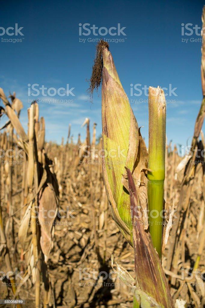 Green corn cob still in a cornfield stock photo