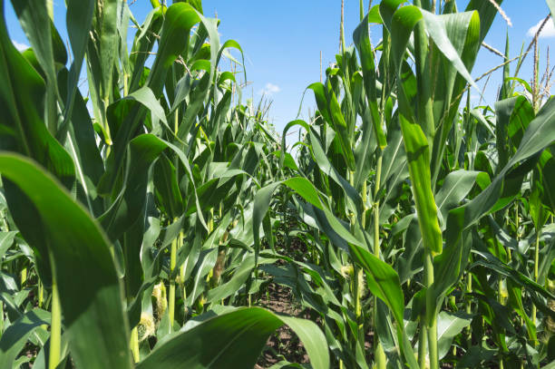 Green corn field against the blue sky and clouds Green corn field against the blue sky and clouds, agricultural concept monoculture stock pictures, royalty-free photos & images