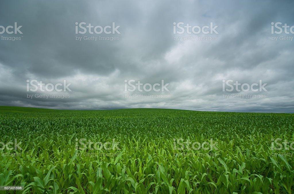 Green corn field and blue sky cloud outdoor shots stock photo