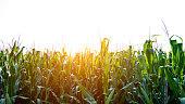 Green corn field and sky