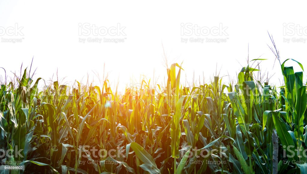 Green corn field and sky stock photo