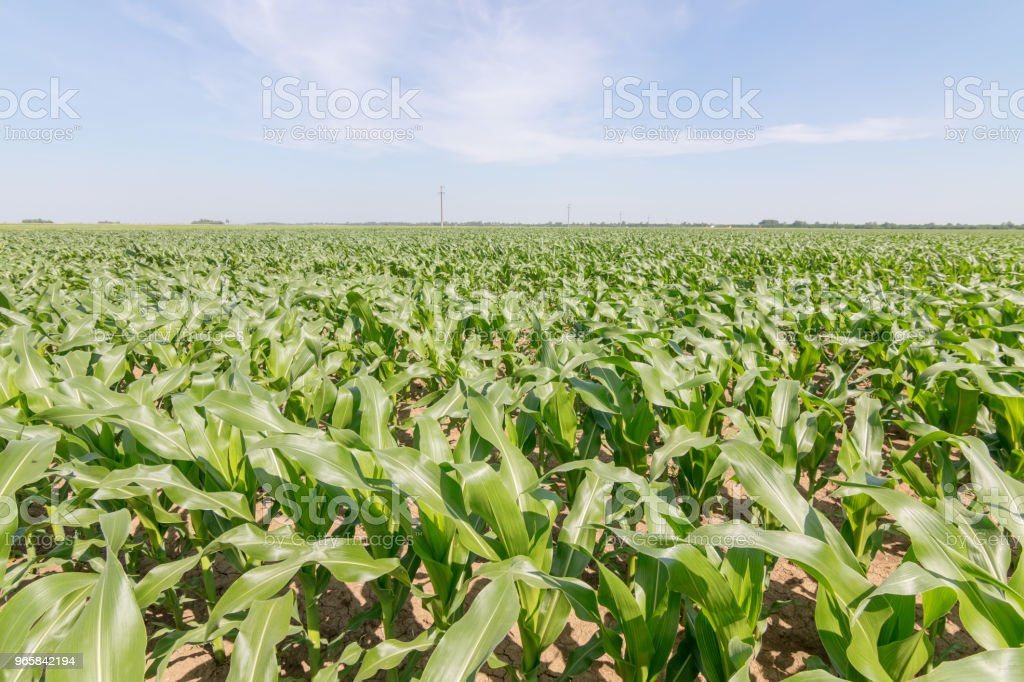 Green Corn Field. Green corn growing on the field, blue sky and sun - Royalty-free Agricultural Field Stock Photo