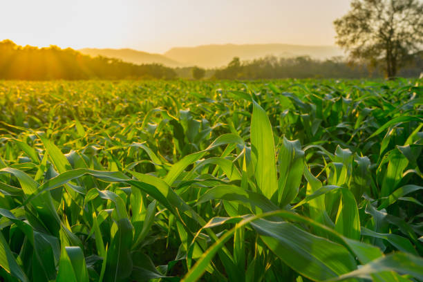green corn field in agricultural garden and light shines sunset stock photo