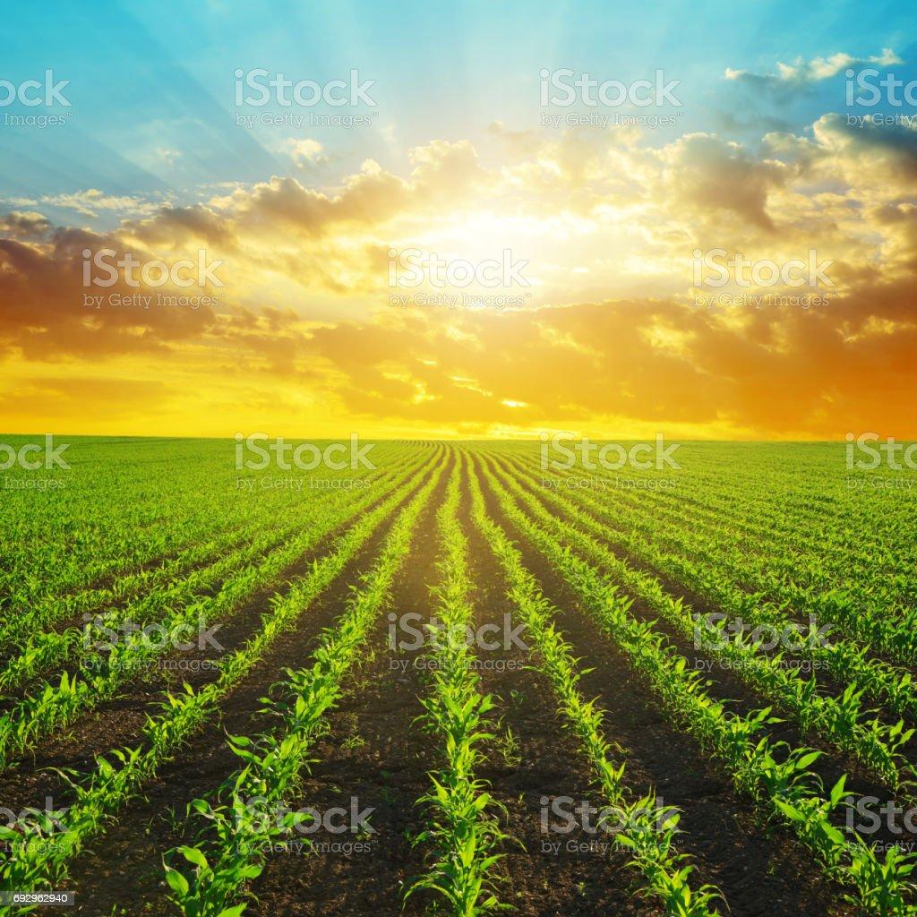 Campo de maíz verde en la puesta de sol. - foto de stock