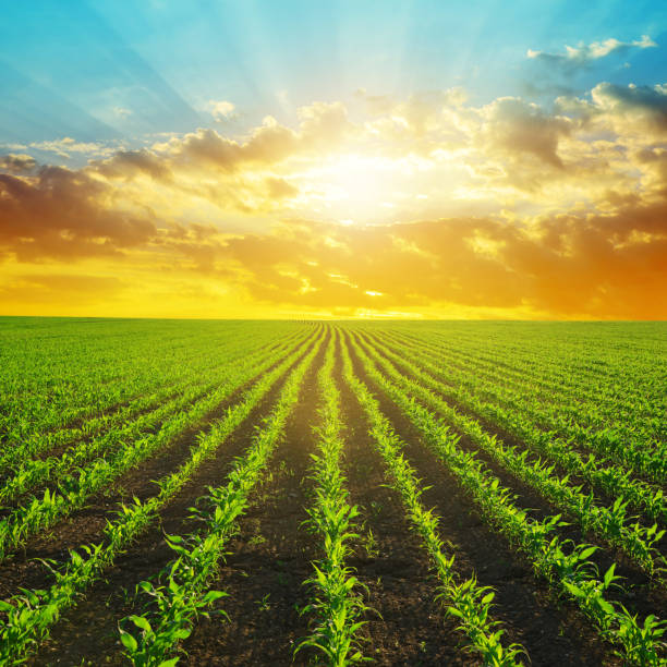 Green corn field in the sunset. stock photo
