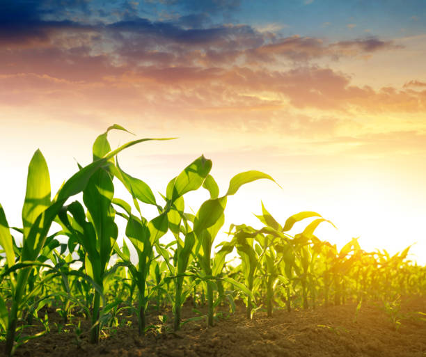 green corn field - milho imagens e fotografias de stock