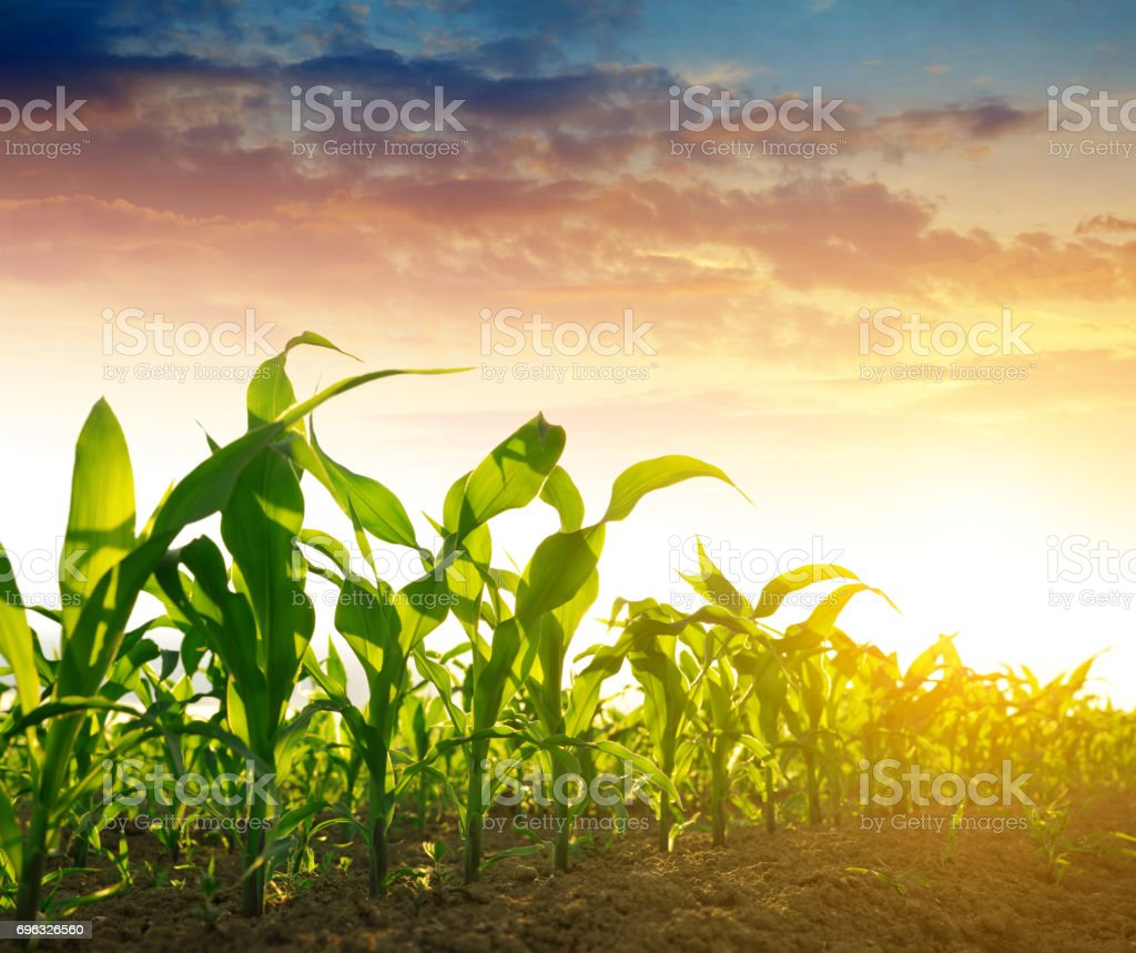 Green corn field – Foto