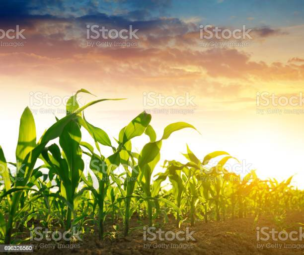 Green corn field in the sunset.
