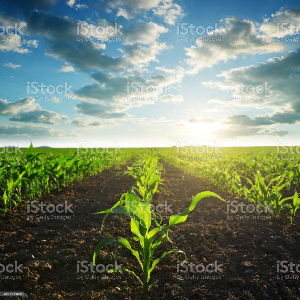 Verde maíz en campo. - foto de stock