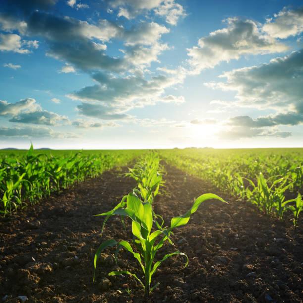 Green corn field. stock photo