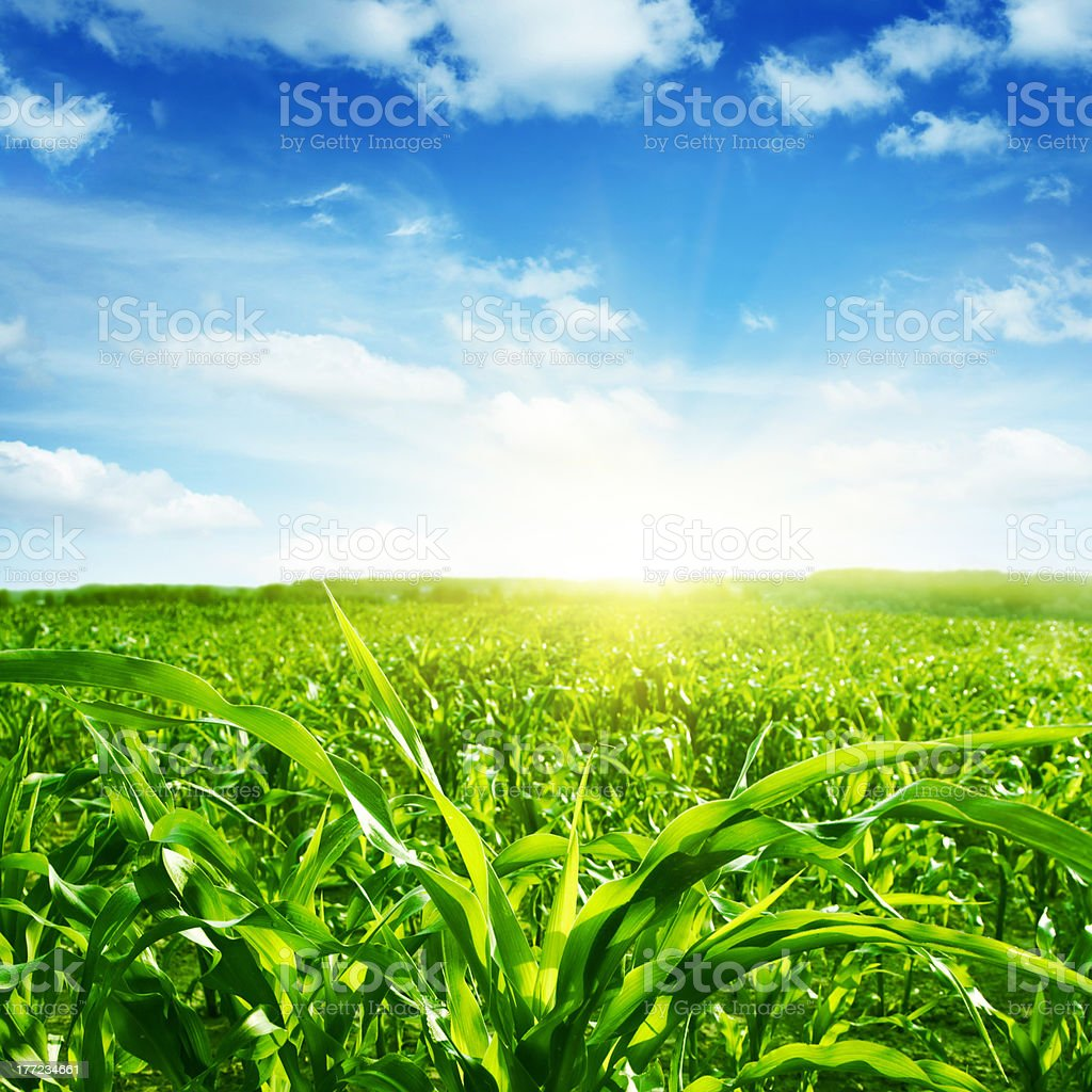 Green corn field,blue sky and sunlight. stock photo
