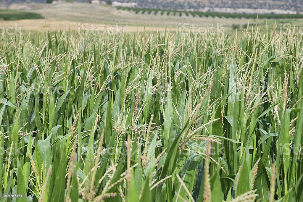 Green corn fields in La Noguera stock photo