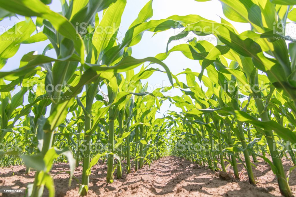 Groene maïs groeien op het veld. Groene maïs planten. - Royalty-free Achtergrond - Thema Stockfoto