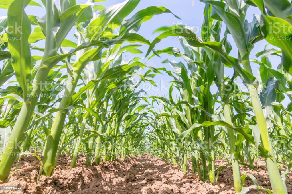 Green corn growing on the field. Green Corn Plants. - Royalty-free Agricultural Field Stock Photo
