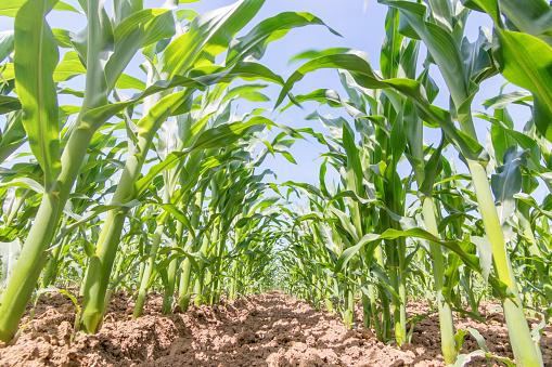 Groene Maïs Groeien Op Het Veld Groene Maïs Planten Stockfoto en meer beelden van Achtergrond - Thema