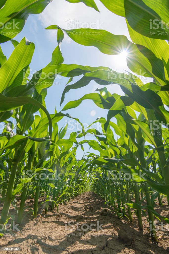Green corn growing on the field. Green Corn Plants. - Royalty-free Agricultura Foto de stock