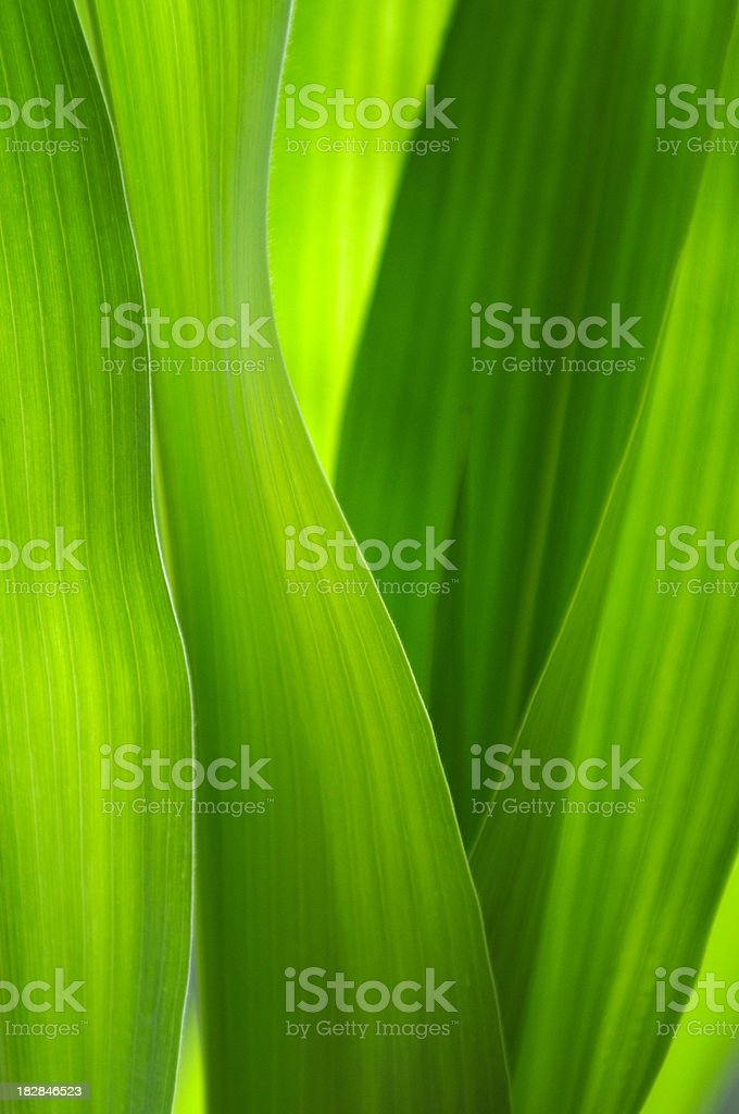 Green corn leafs background. stock photo