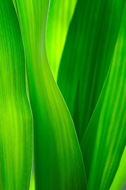 Green corn leafs background. stock photo