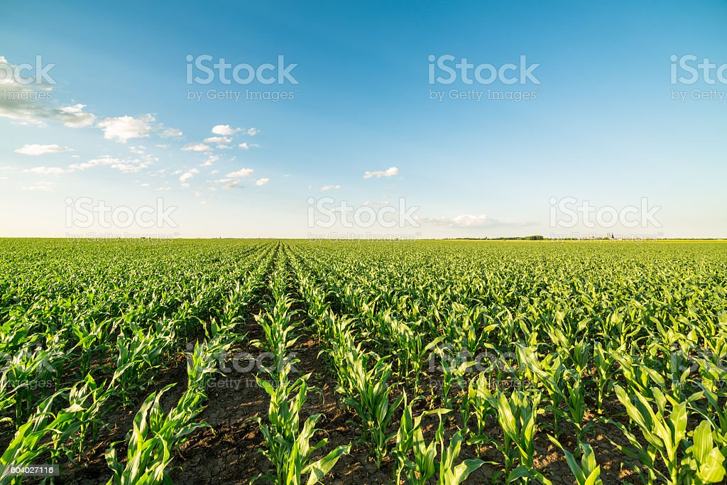 Green corn maize field in early stage. stock photo