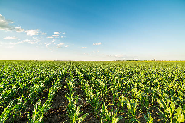 green corn maize field in early stage. - field stock photos and pictures