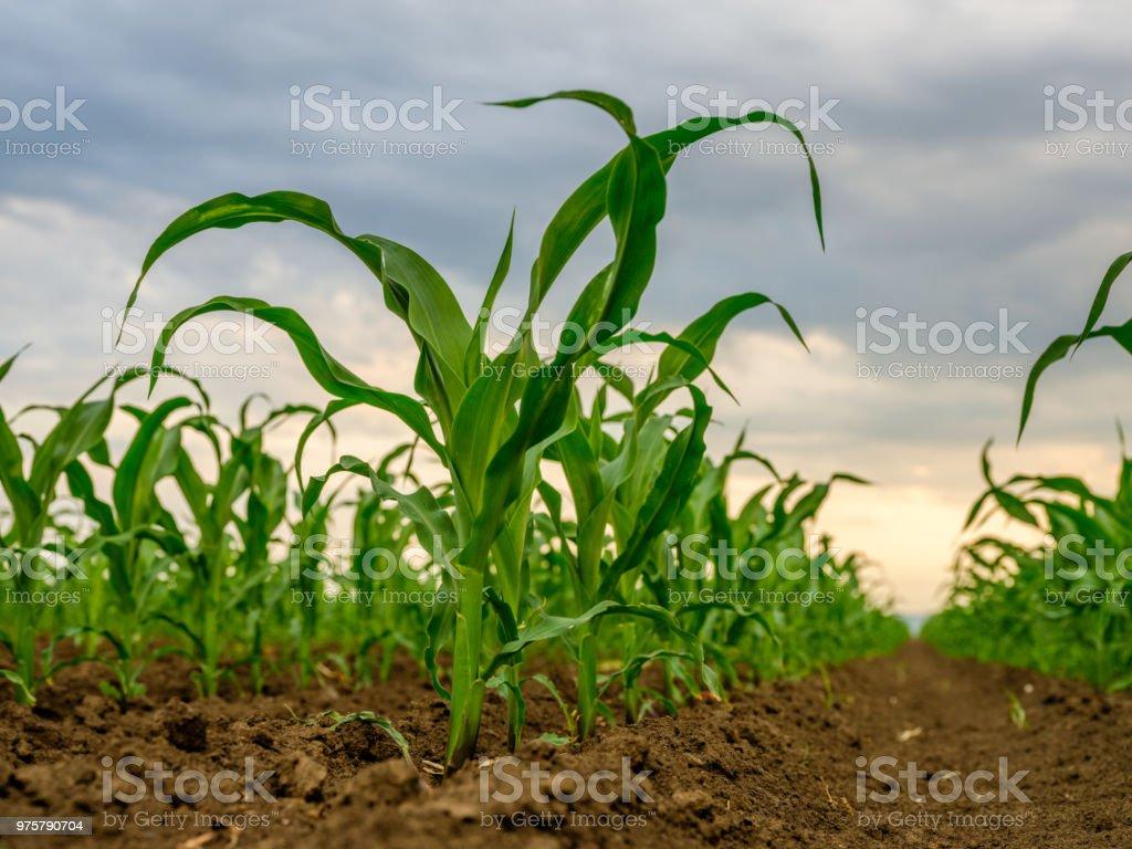 Grünen Mais Mais Pflanzen auf einem Feld. Agrarlandschaft - Lizenzfrei Agrarbetrieb Stock-Foto