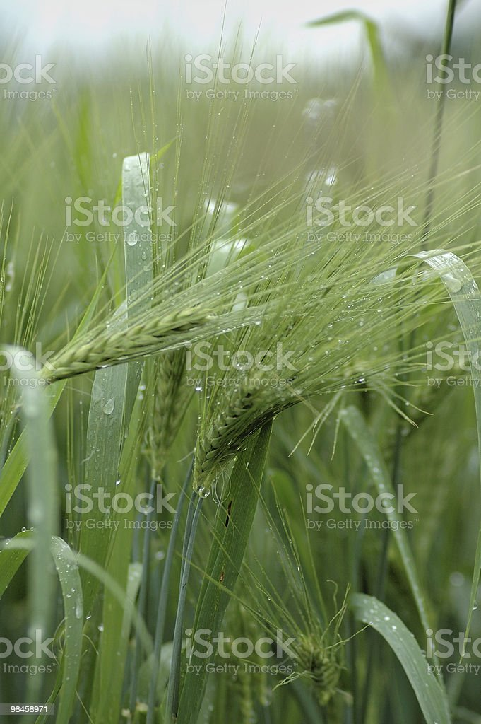 Green corn royalty-free stock photo