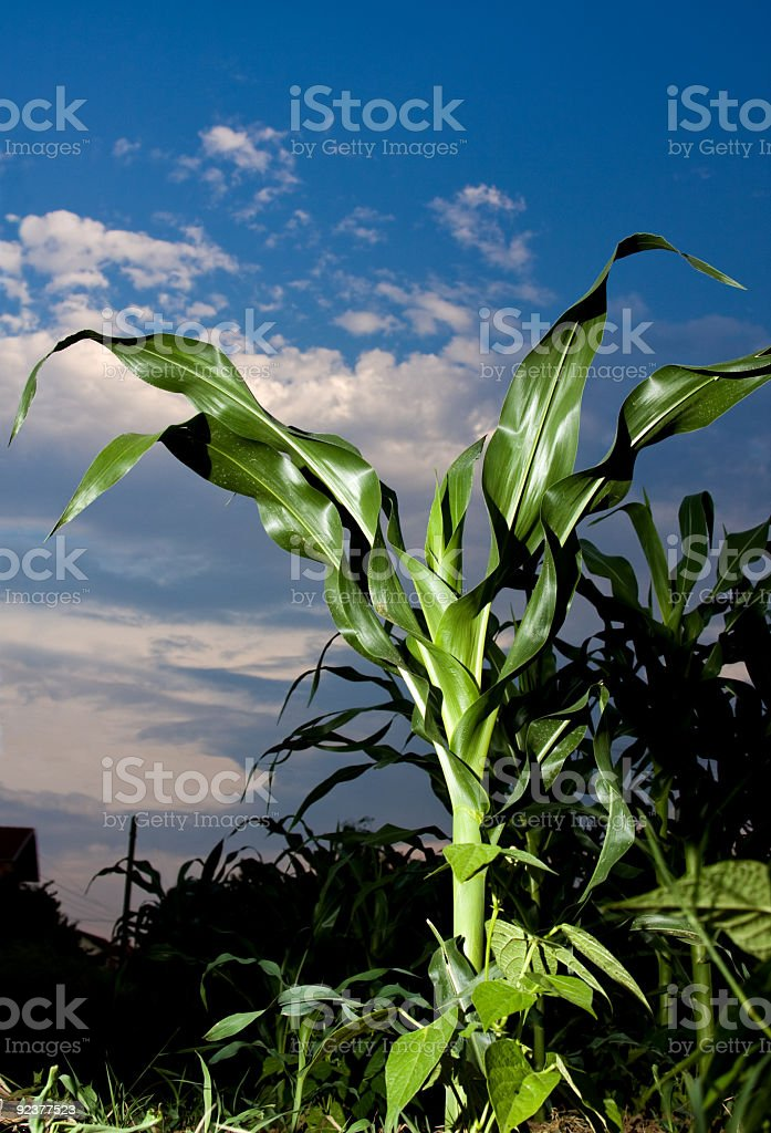 Green corn plants on an agricultural field royalty-free stock photo