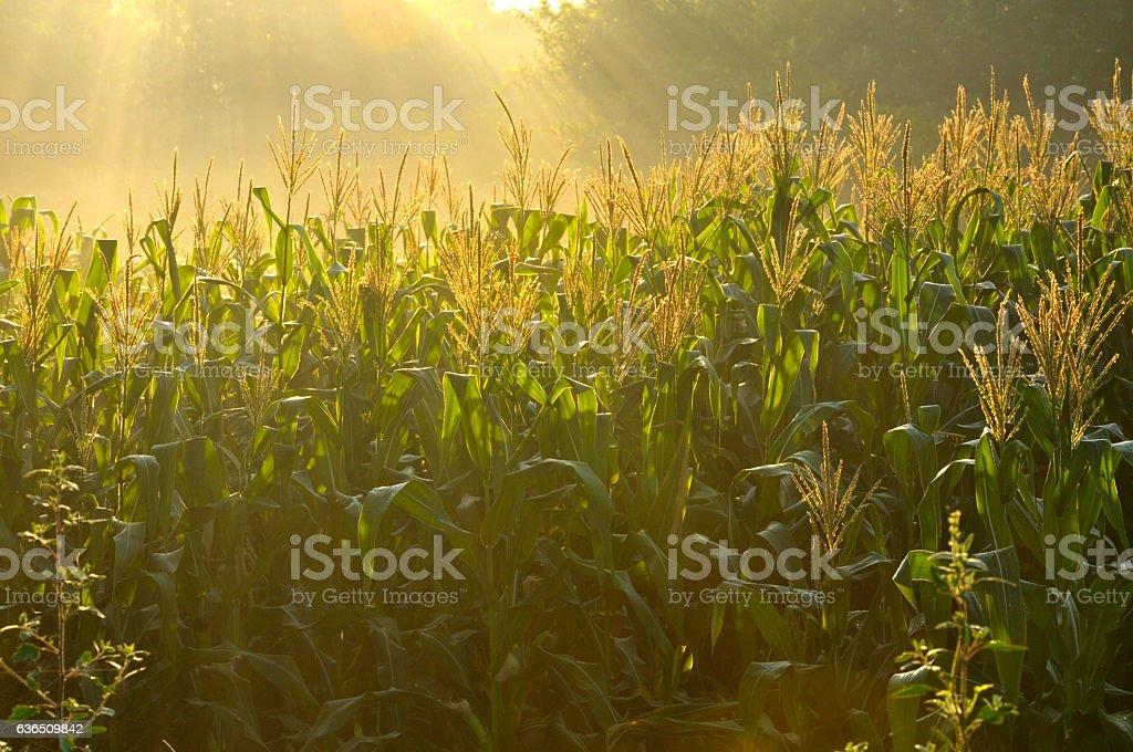 Green corn plants stock photo