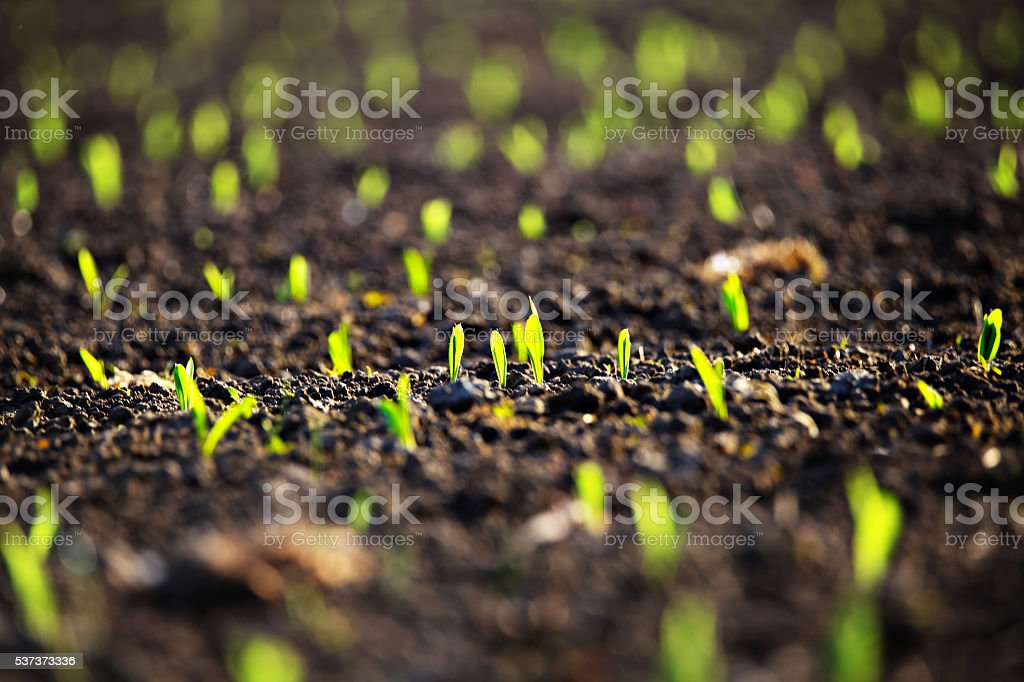 Green corn sprout in evening light stock photo