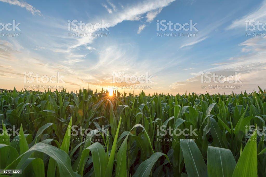 Campo de maíz verde luz al amanecer temprano en la mañana - foto de stock