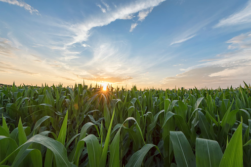 Green Cornfield Early Morning Light At Sunrise Stock Photo - Download Image Now