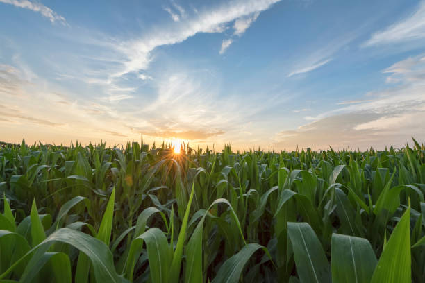 green cornfield early morning light at sunrise - agricultural field stock photos and pictures