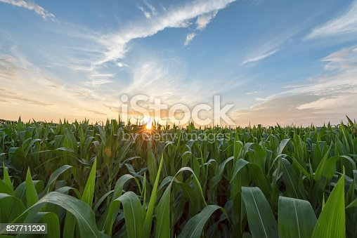 Green Cornfield Early Morning Light At Sunrise Stock Photo & More Pictures of Abundance