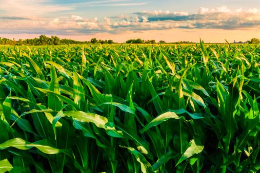 cornfield at sunset in Illinois