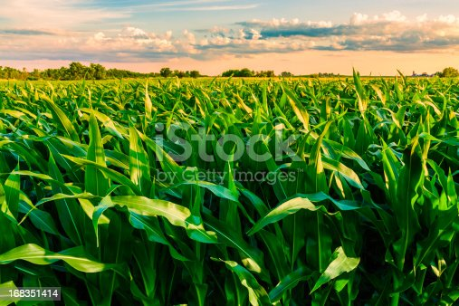 istock green cornfield ready for harvest, late afternoon light, sunset, Illinois 168351414