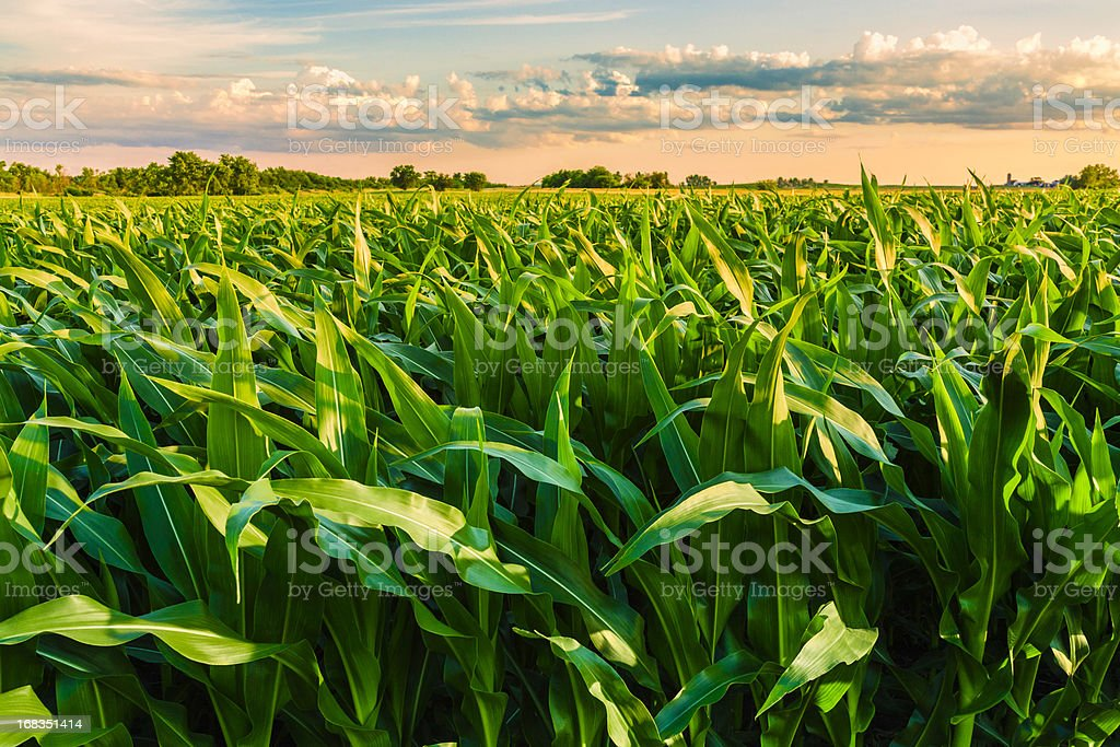 green cornfield listo para la cosecha, por la tarde, al atardecer, Illinois - foto de stock