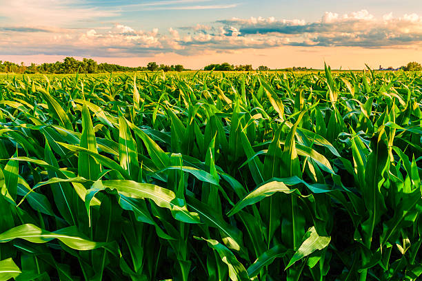 green cornfield ready for harvest, late afternoon light, sunset, illinois - field stock photos and pictures