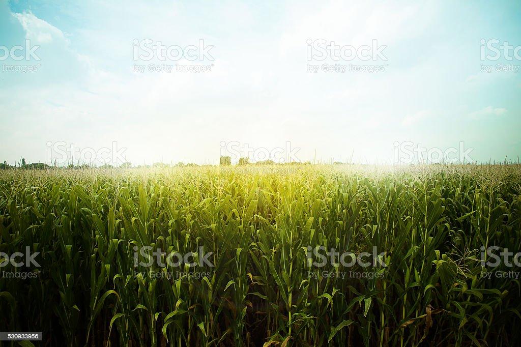 campo de maíz verde listo para la cosecha, luz por la tarde, al atardecer, - foto de stock