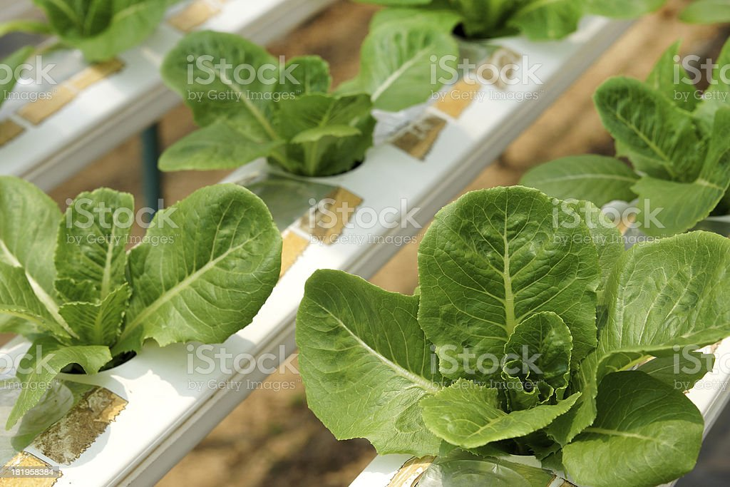 Green Cos Lettuce at Hydroponics Vegetable Farm royalty-free stock photo
